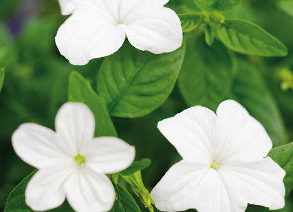 Browallia - Endless Flirtation - White