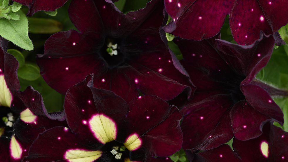 Petunia - Headliner - Starry Sky Burgundy