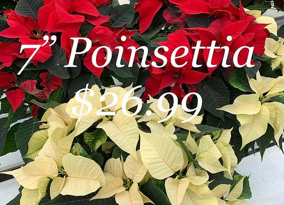 "7"" Poinsettia"