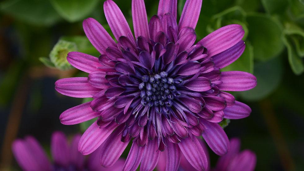 Osteospermum - 4D - Purple
