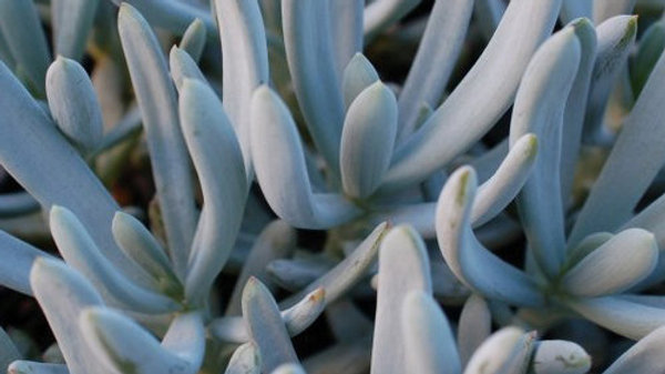 Succulent FO Senecio Blue Chalk Sticks