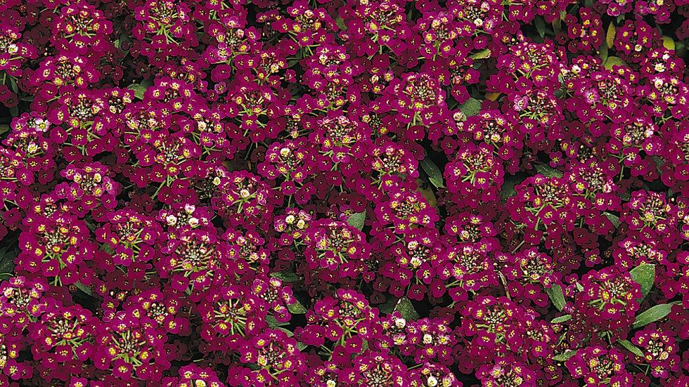 Alyssum - Bonnet - Violet