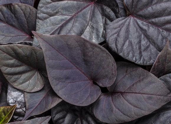 Ipomoea/Potato Vine - Sweetheart Caroline - Jet Black