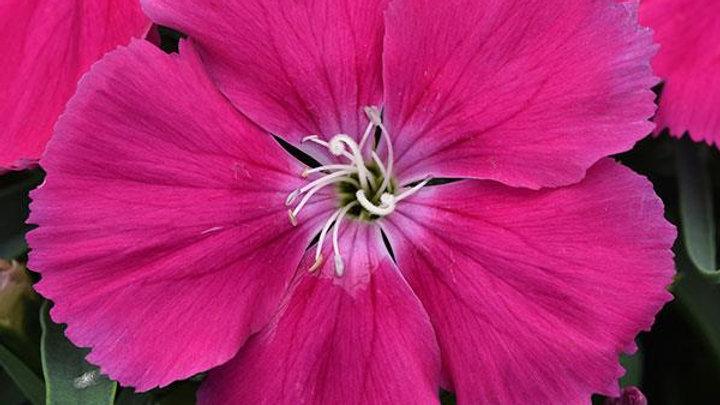 Dianthus - Corona - Rose