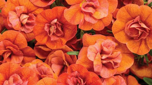Calibrachoa - Superbells - Dbl. Orange