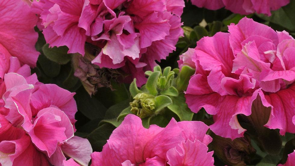 Petunia - Double Cascade - Pink