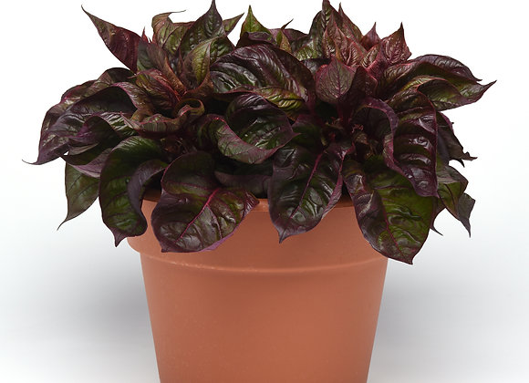 Celosia - SOL - Lizzard Leaf