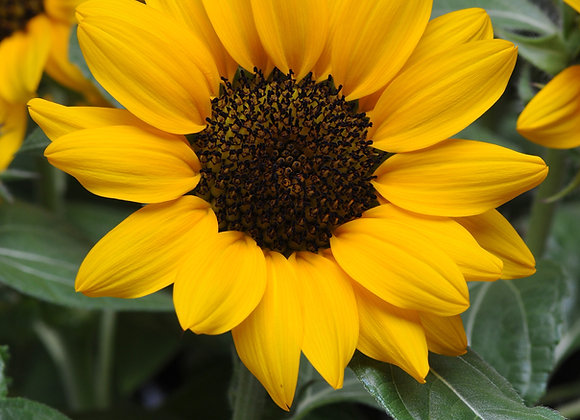 Helianthus - Miss Sunshine