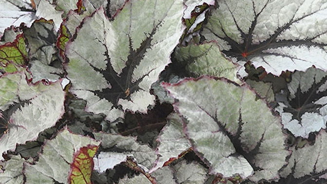 Begonia Rex - Shadow King - Wintergreen
