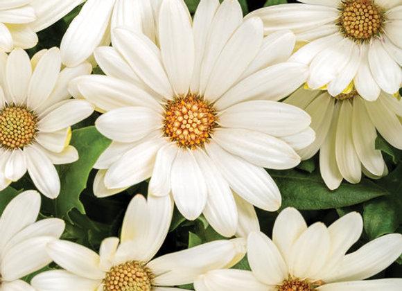 Osteospermum - Bright Lights - White