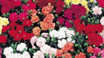 Carnation - Lillipot - Mix