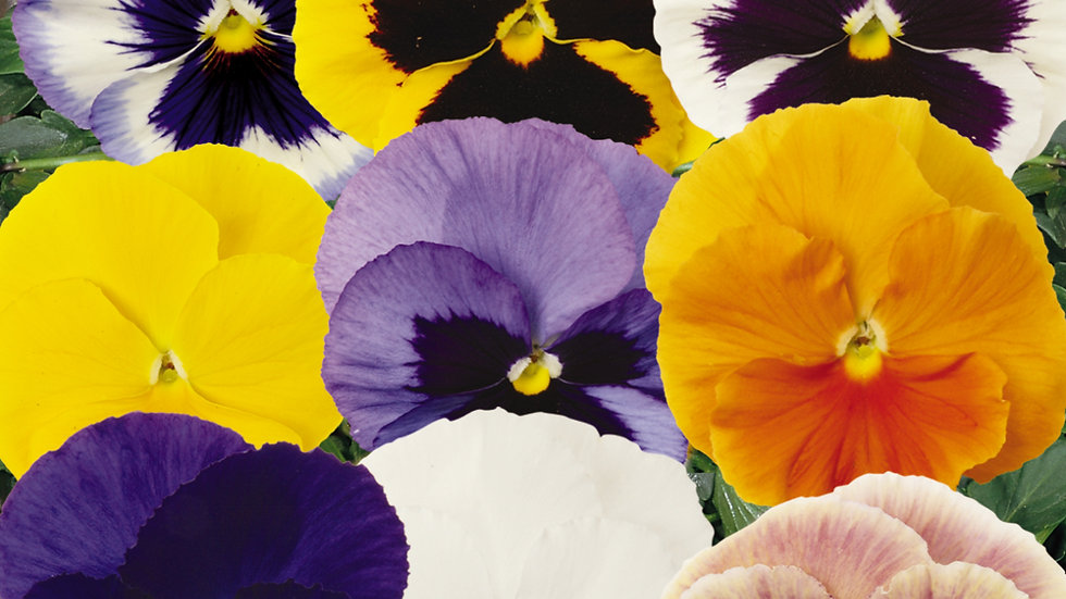 Pansy - Matrix - Mix