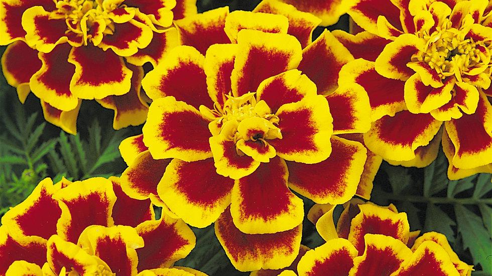 Marigold French - Durango - Bee