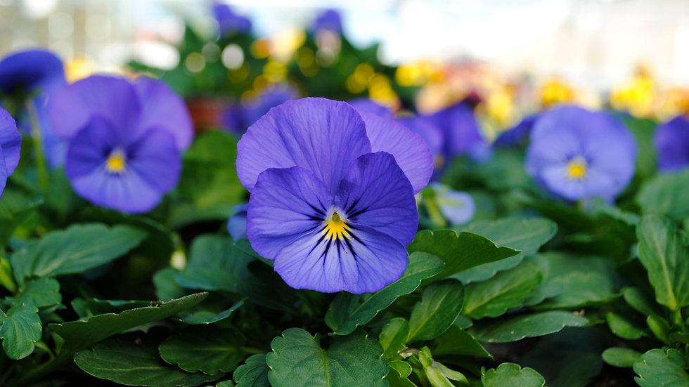 Viola - Sorbet XP - Blue True
