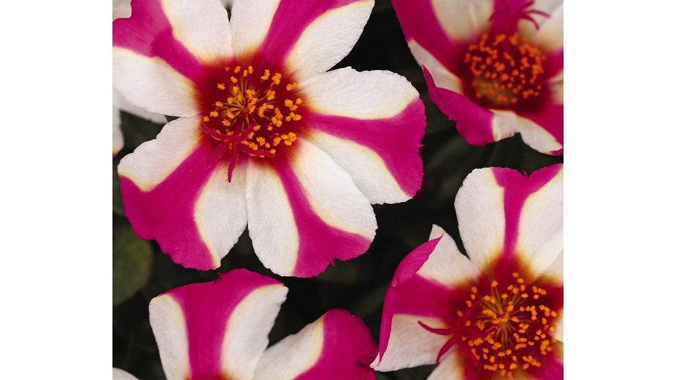 Portulaca - Colorblast - Pink Lady