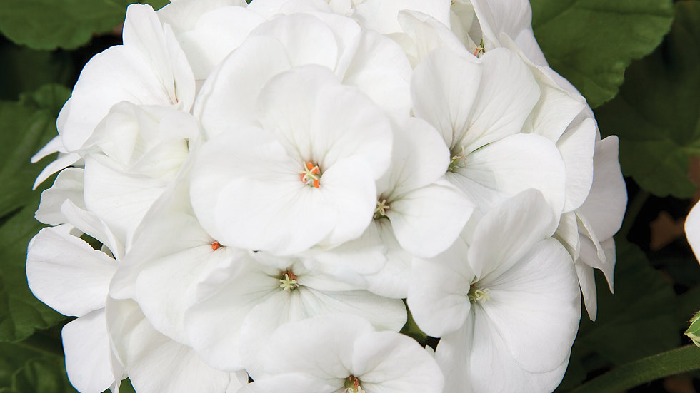 Seed Geranium Maverick White