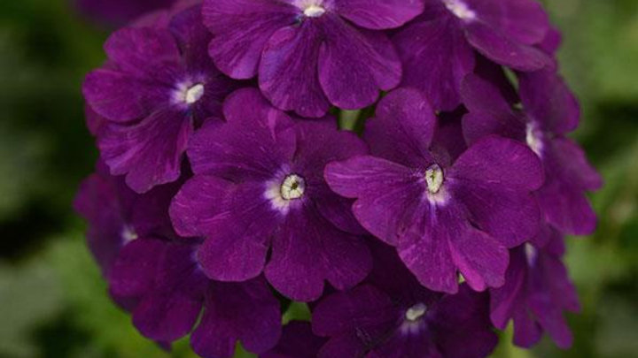 Verbena - Firehouse - Purple