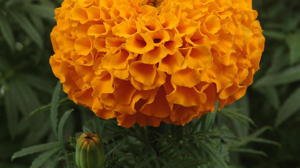 Marigold African - Taishan - Orange