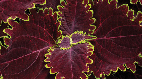 Coleus - Colorblaze - Wicked Witch