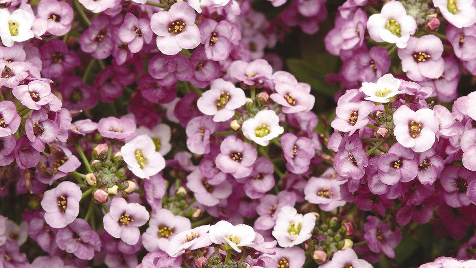 Alyssum - Clear Crystal - Lavender Shades