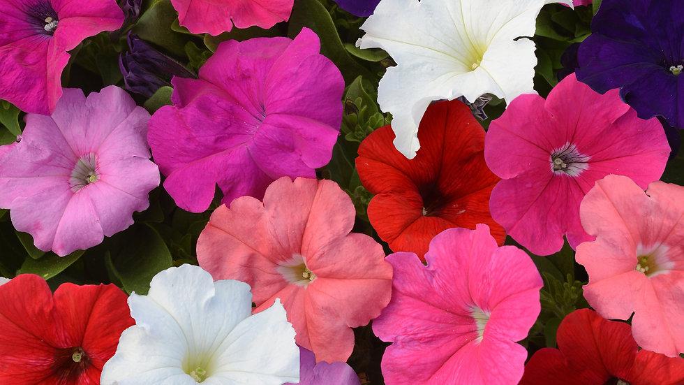 Petunia - Pretty Flora - Mix