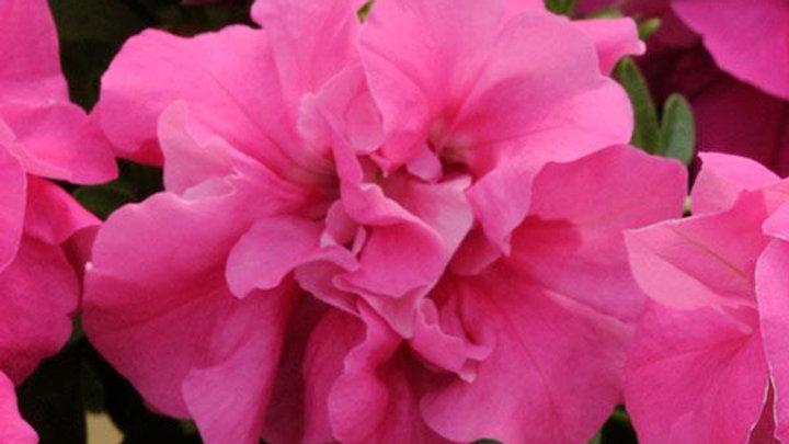 Petunia - Double Madness - Rose