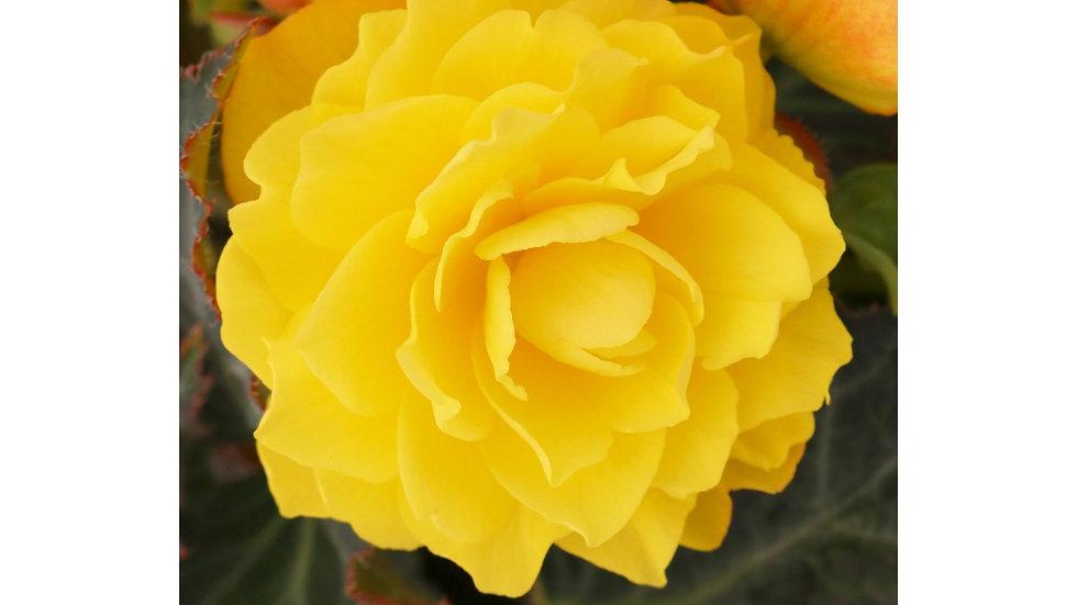 Begonia I'Conia Portofino Yellow