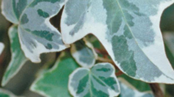 Ivy - Hedera Helix - Glacier