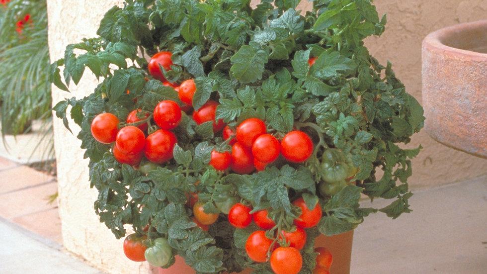 Tomato (Slicer) - Patio
