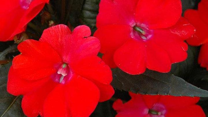 Impatiens - Sunpatien Vigorous - Red