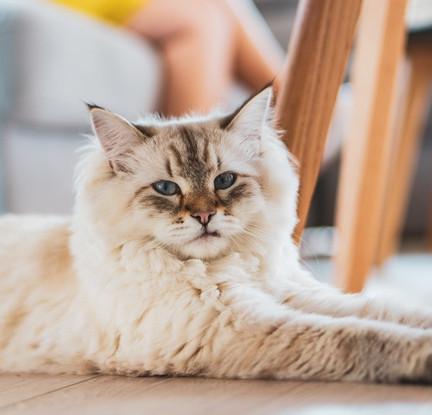 lindo-gato-domestico-esponjoso-sentado-s