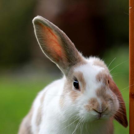 lindo-conejo-blanco-marron-oreja-campo-v