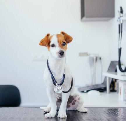 retrato-joven-perro-blanco-marron-esteto