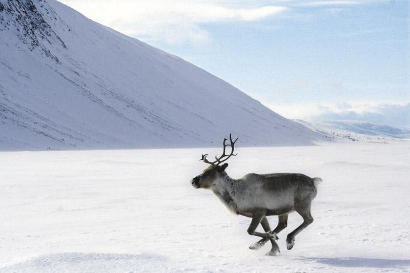 reindeer_p5_2