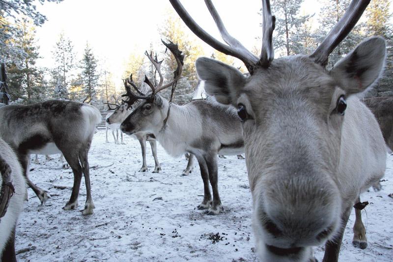 reindeer_p86_3