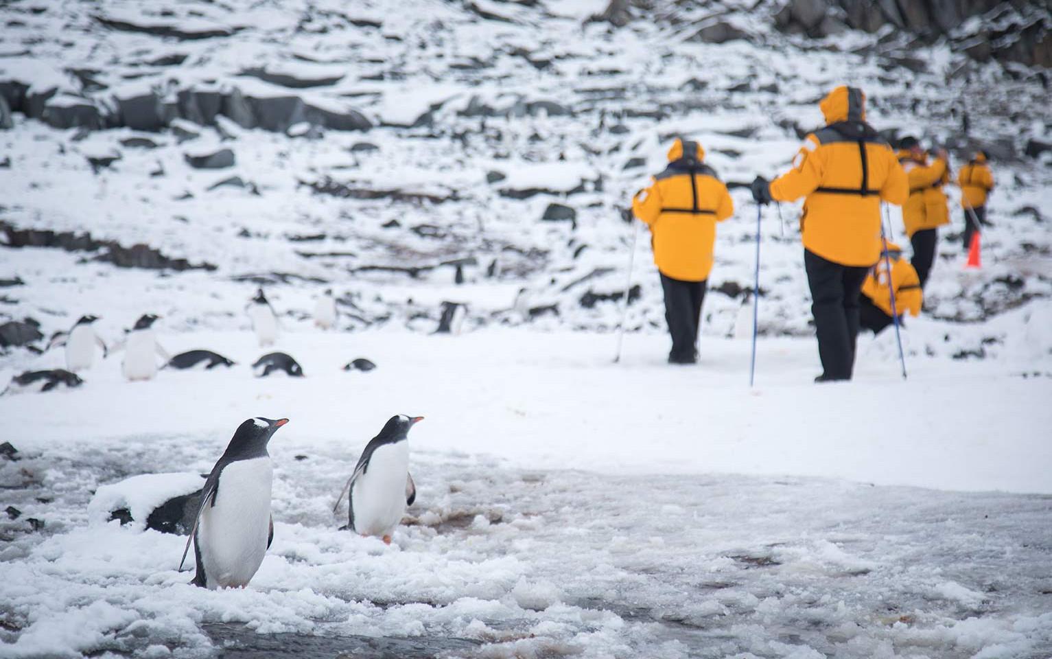 QuarkExpeditions_gentoo_penguins_pax_por