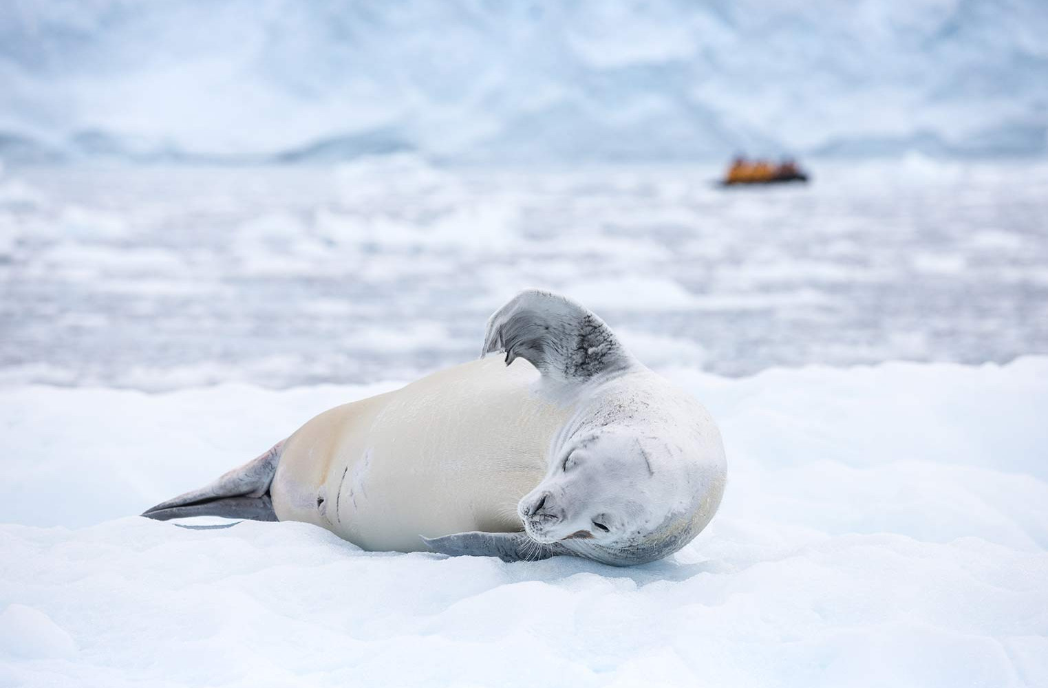 QuarkExpeditions_crabeater_seal_paradise