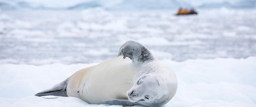 QuarkExpeditions_crabeater_seal_paradise