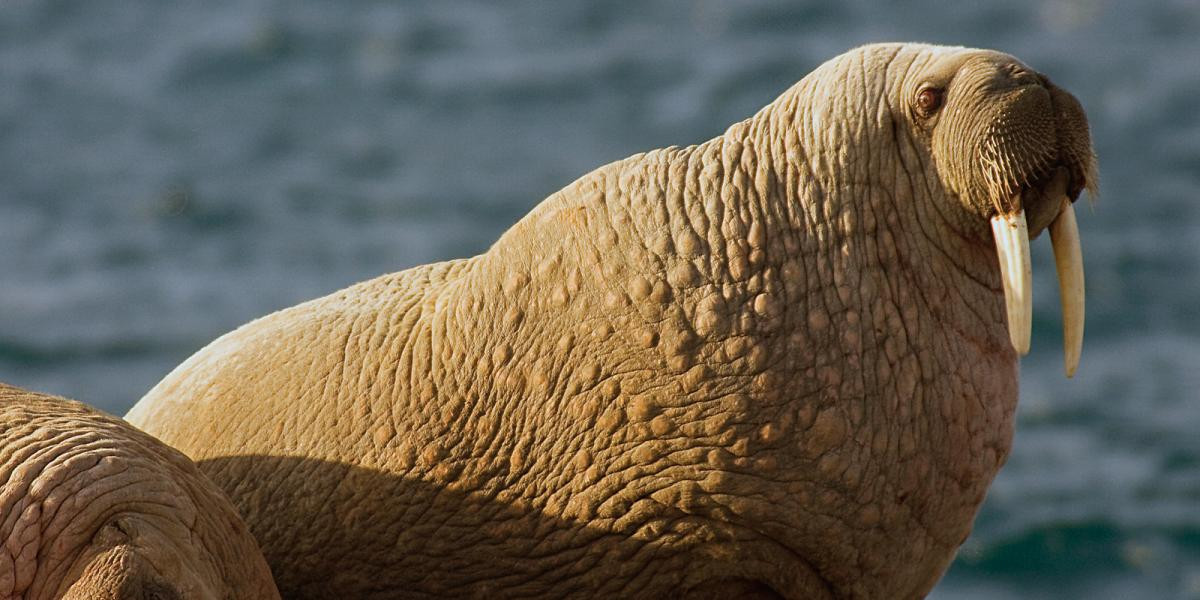 walruses-photo-m-libra-kearney-cove.jpg