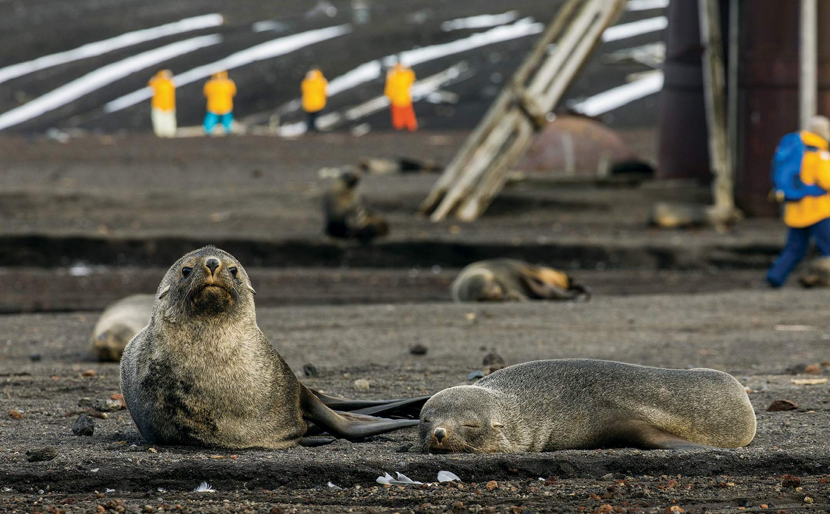 QuarkExpeditions_SamEdmonds---Fur-seals-