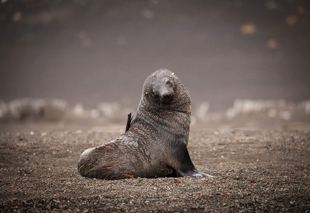 QuarkExpeditions_fur_seal_deception_isla