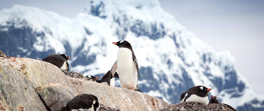 QuarkExpeditions_gentoo_penguin_acaciajo