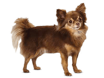 chihuahua-img-one.png