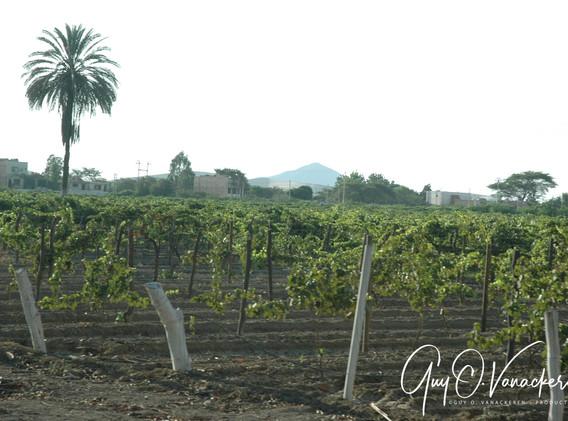 Vignobles à Ica ©Guy_VanackerenBodegaVistaAlegreVignobl