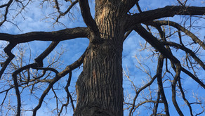 OLD OAKS AND COLD CLIMATE BIRDS