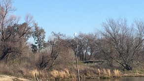 HAWKS AND ACORN WOODPECKERS AT THE RIVER