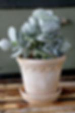 Bergs_københavner_lys_single_plante_kruk