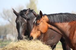 Foin grade supérieur chevaux