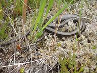 Slow worm (2).JPG