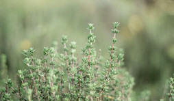 What is Benchmark Thyme and What Are Its Benefits?